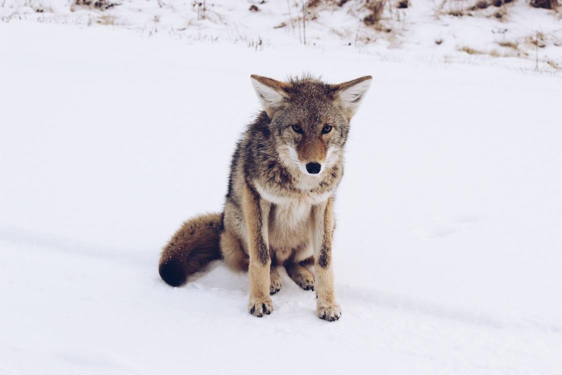 Canis Lupus Tundrarum,Wildlife,Fur