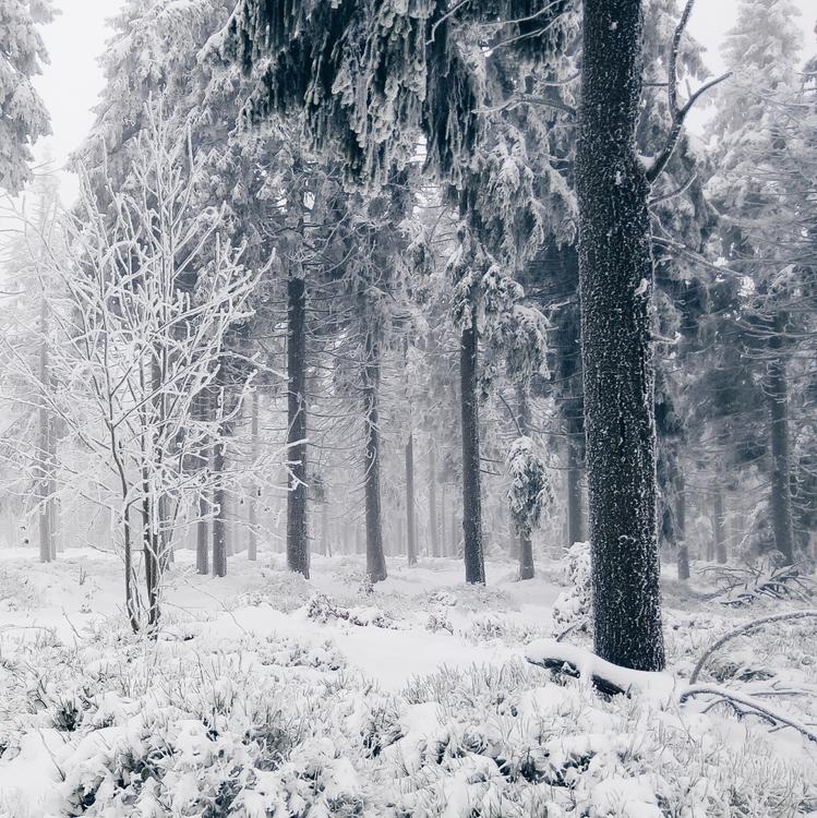 Fir,Temperate Coniferous Forest,Winter