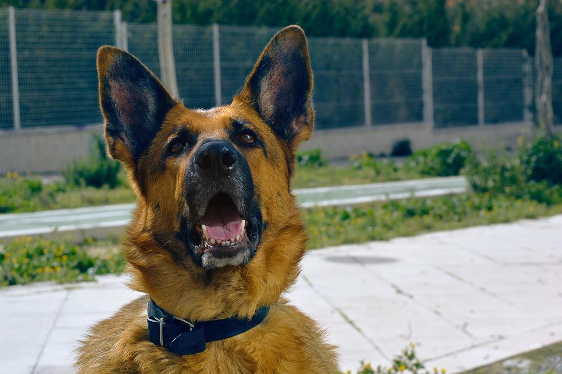 Old German Shepherd Dog,German Shepherd Dog,East European Shepherd
