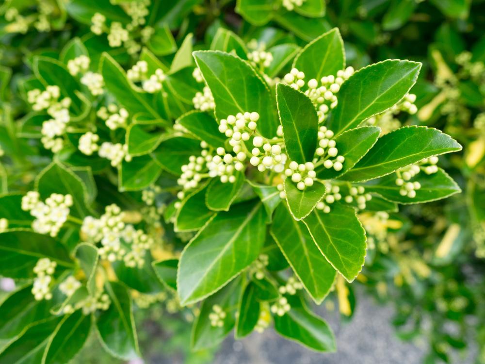 Evergreen,Plant,Leaf
