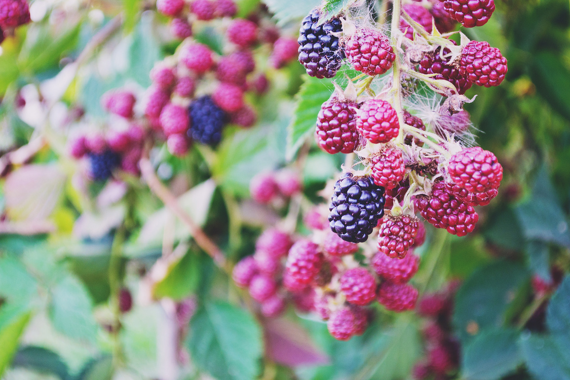 Plant,Raspberry,Red Mulberry
