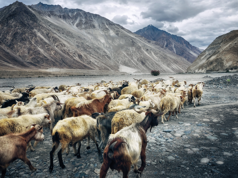 Sheep,Mountain,Cattle Like Mammal