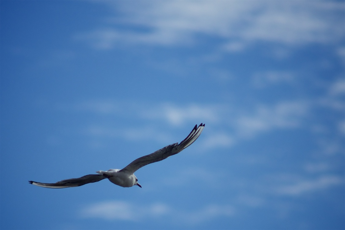 European Herring Gull,Flight,Gull
