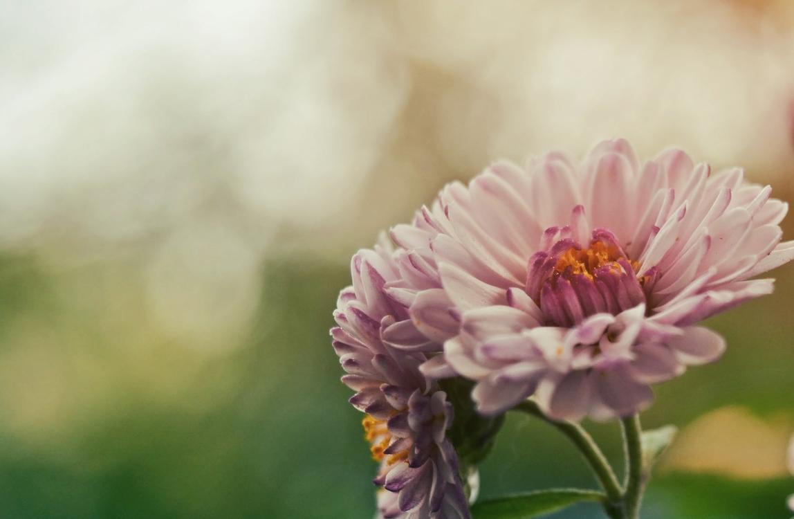 Pollen,Chrysanths,Plant