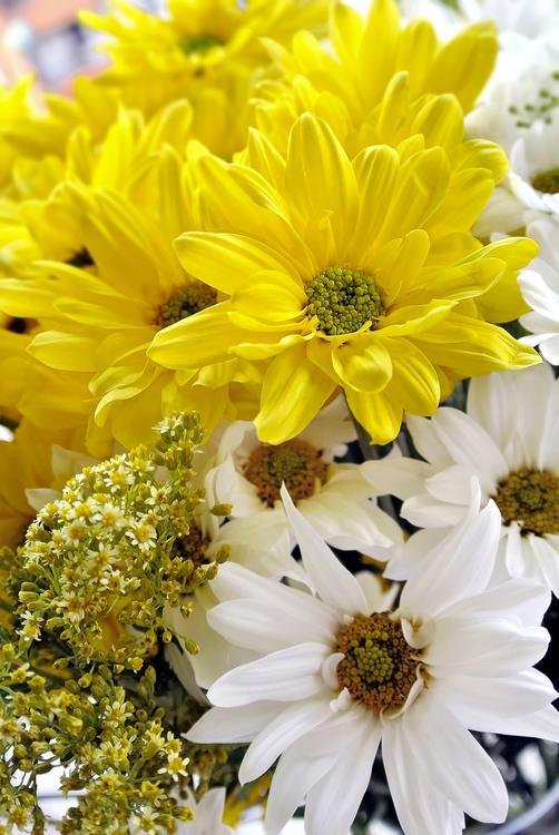 Petal,Chrysanths,Plant