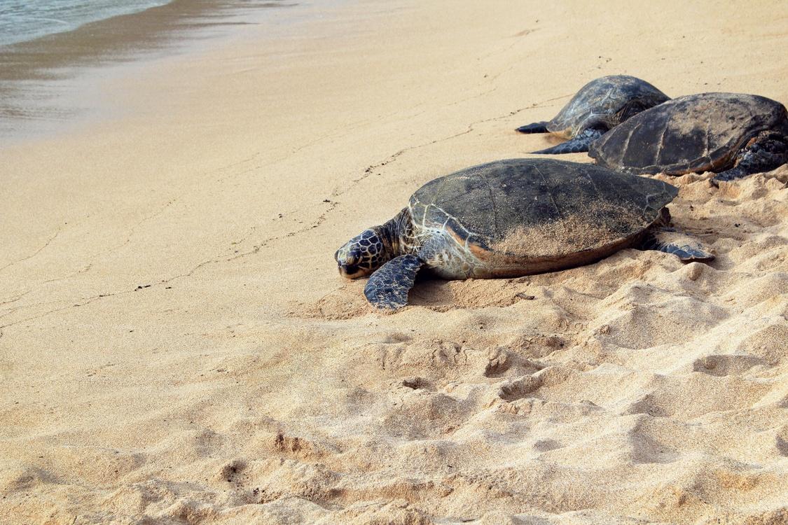 Turtle,Reptile,Leatherback Turtle