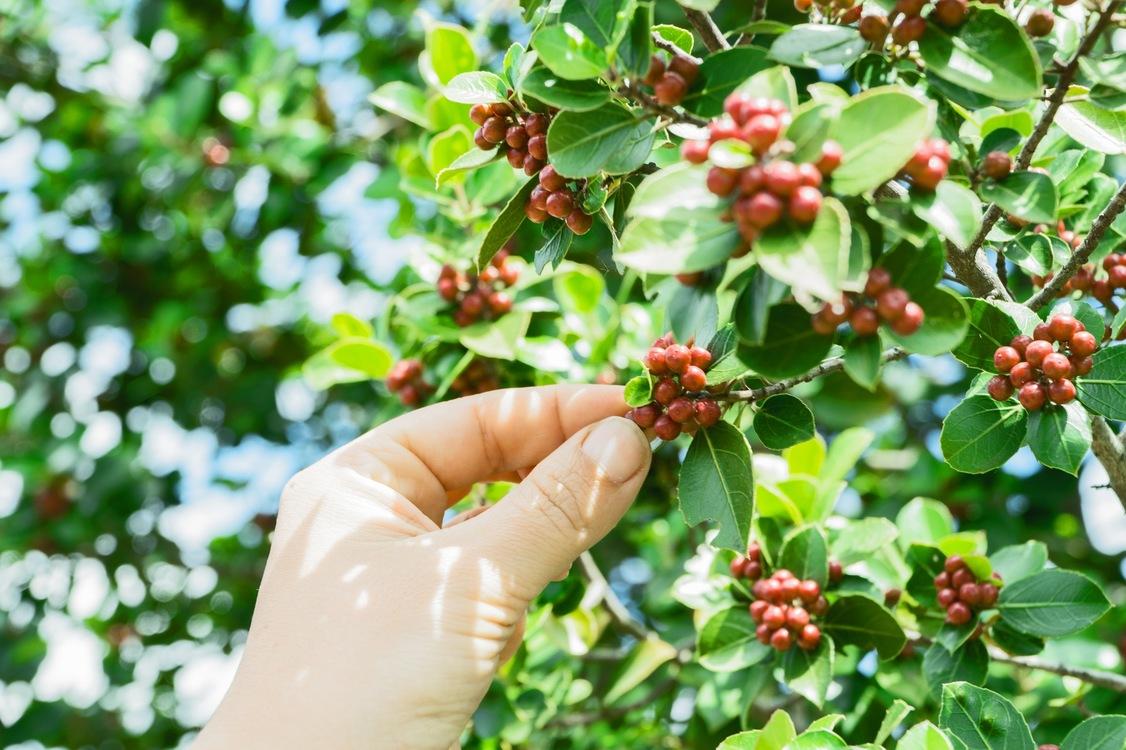 Plant,Lingonberry,Cherry