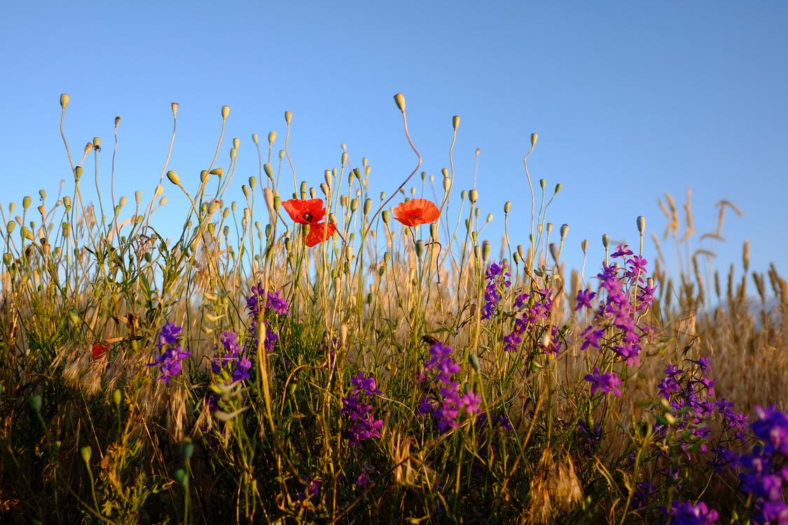 Plant,Flower,Prairie