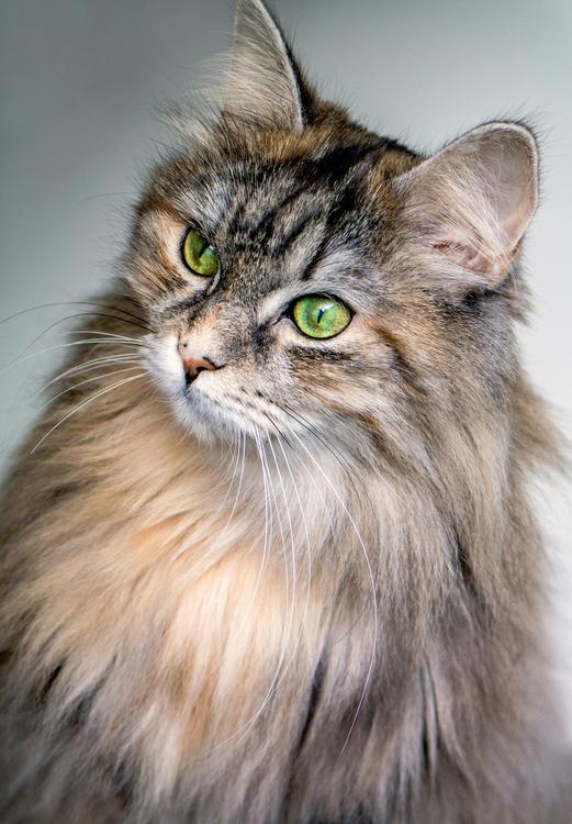Domestic Short Haired Cat,Kurilian Bobtail,Norwegian Forest Cat