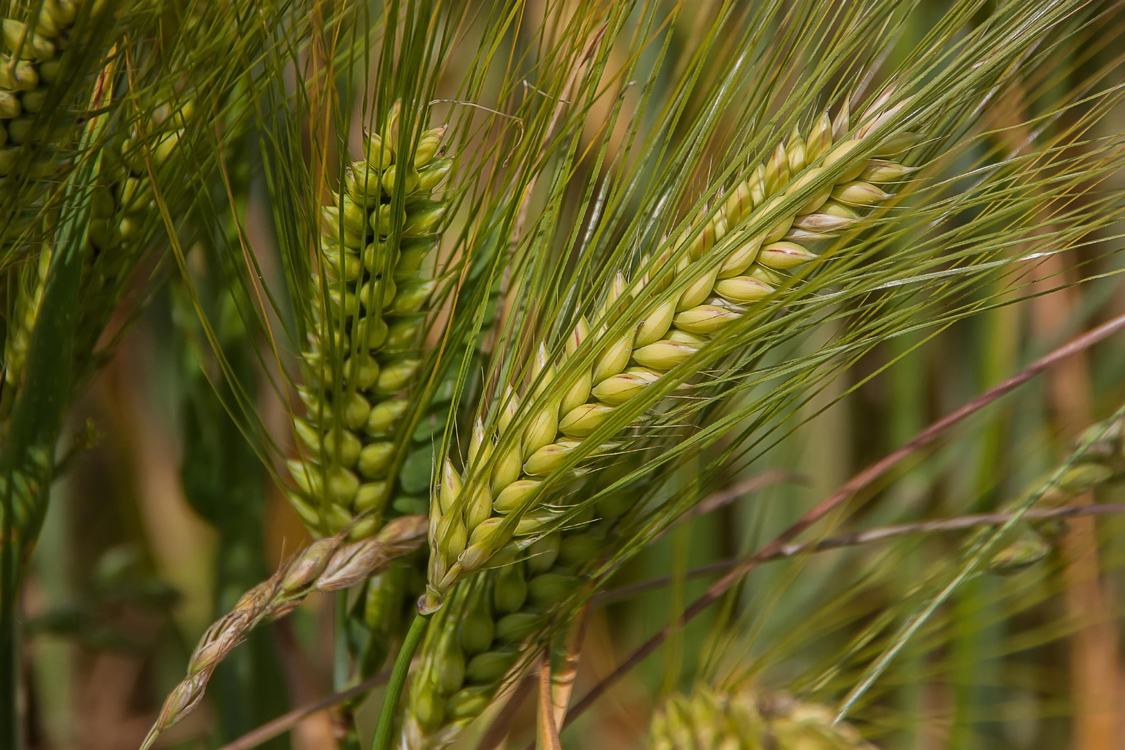 Grass Family,Grass,Wheat