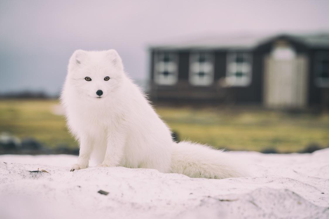 Arctic Fox,Winter,Japanese Spitz