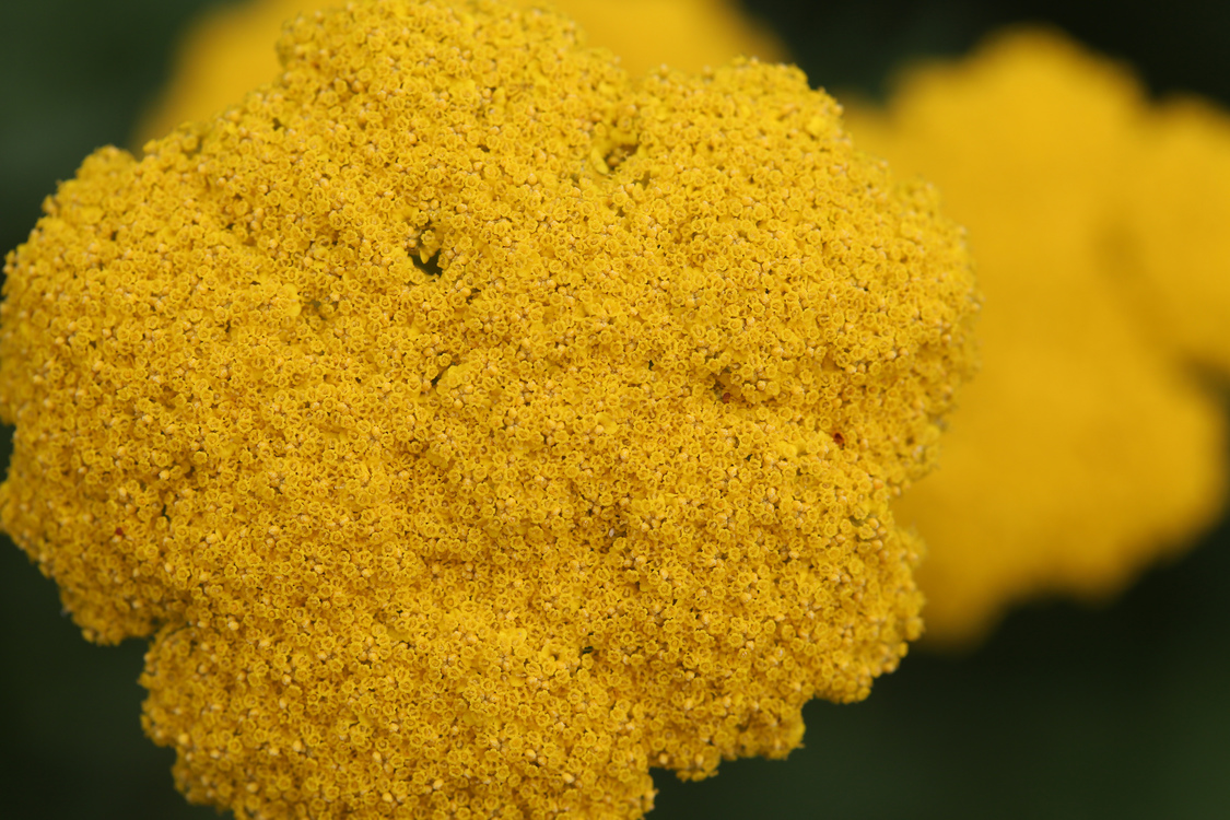 Pollen,Tansy,Flower