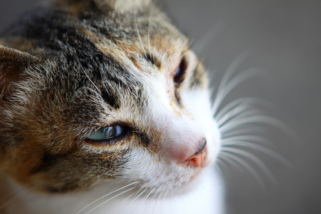 Domestic Short Haired Cat,Close Up,Eye