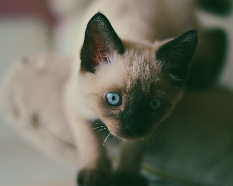 Domestic Short Haired Cat,Balinese,Snowshoe
