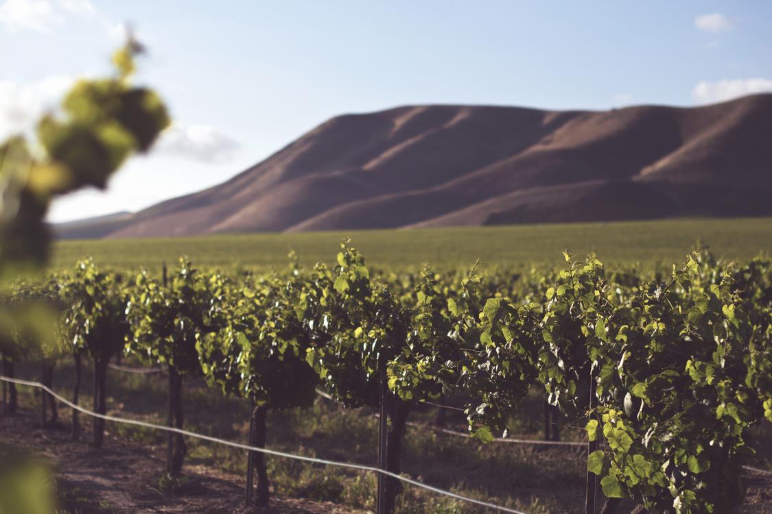 Vineyard,Sky,Agriculture