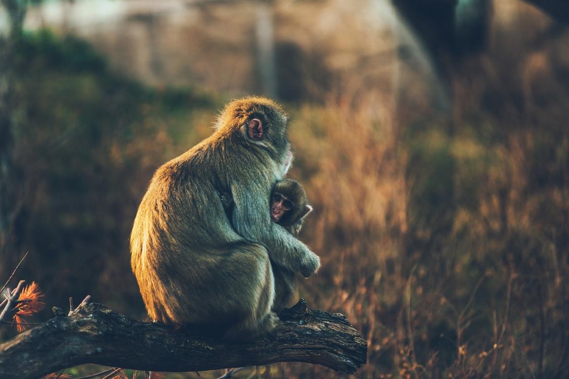 Wildlife,Primate,Old World Monkey