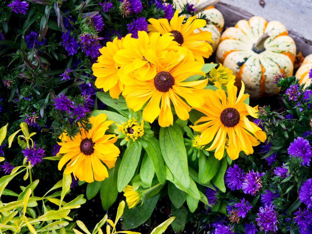 Daisy Family,Chrysanths,Plant