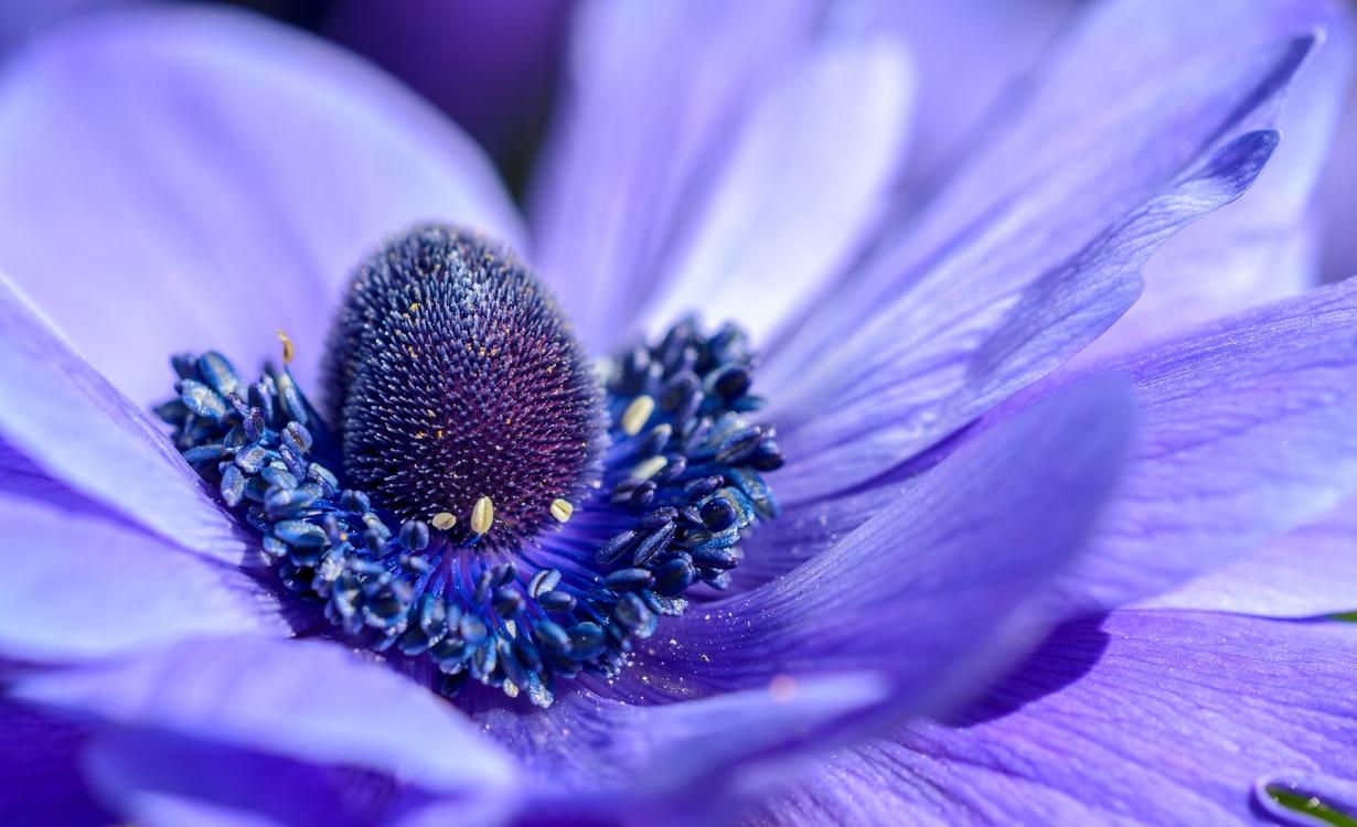Blue,Pollen,Close Up