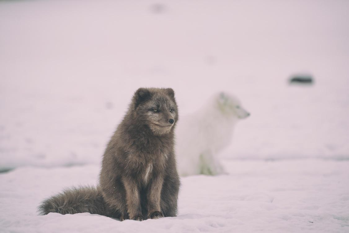 Arctic Fox,Wildlife,Arctic