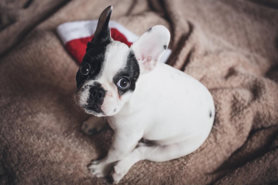 Companion Dog,Toy Bulldog,Non Sporting Group