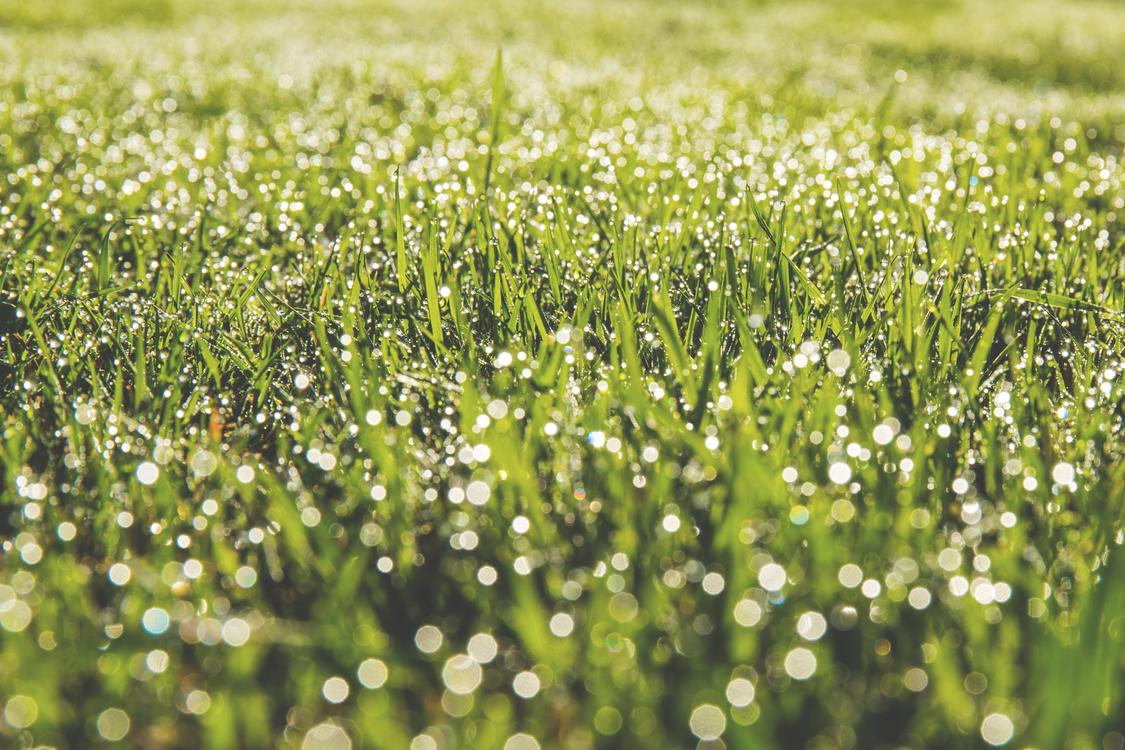Grass Family,Meadow,Drop