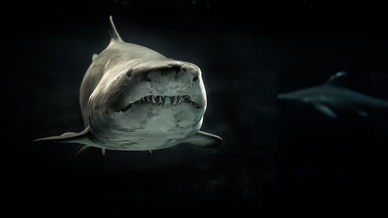 Marine Biology,Shark,Carcharhiniformes