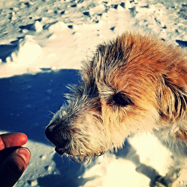 Whiskers,Dog Breed,Schnoodle