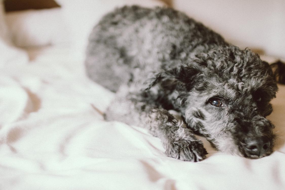 Carnivoran,Spanish Water Dog,Dog Breed