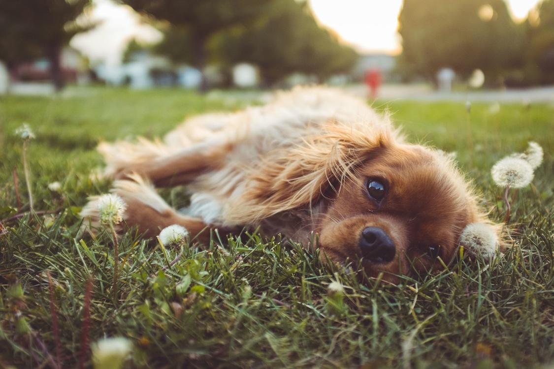 Companion Dog,Puppy,Fur