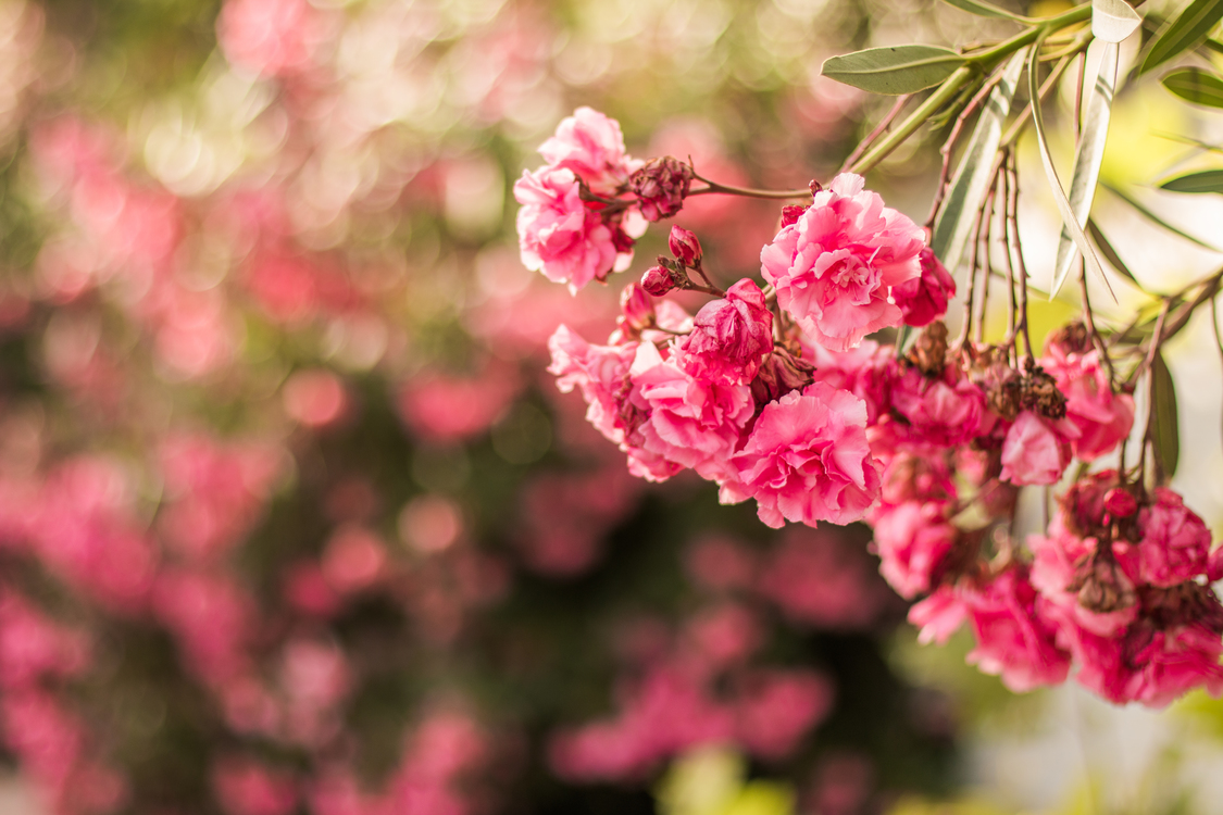 Pink Plant Flower Background Royalty Free Photo Illustration