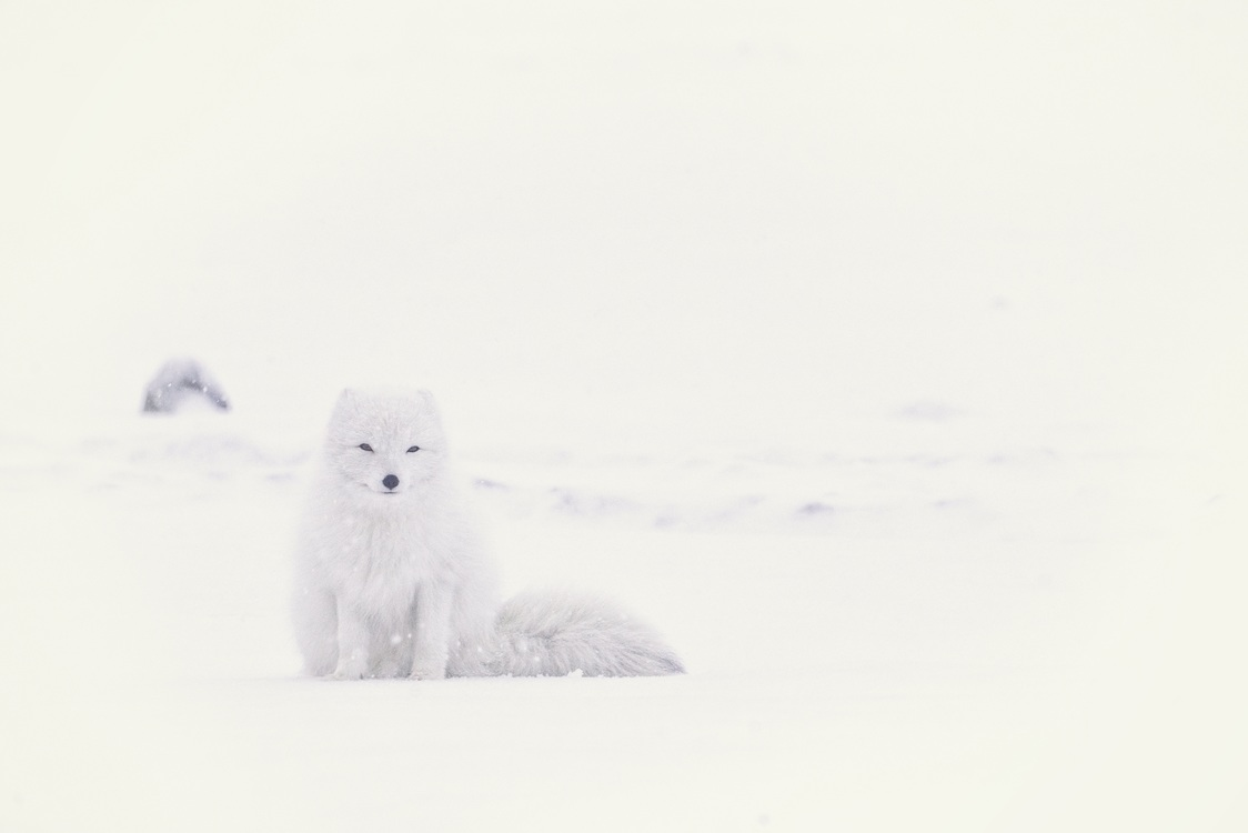 Winter,Small To Medium Sized Cats,Arctic