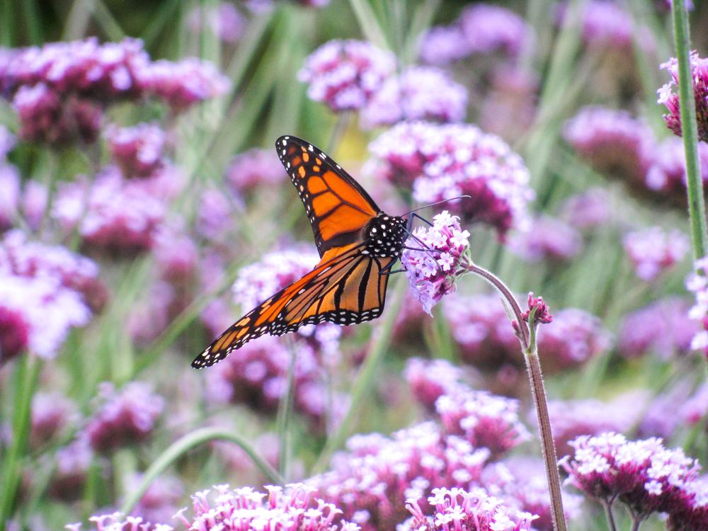 Butterfly,Plant,Flower