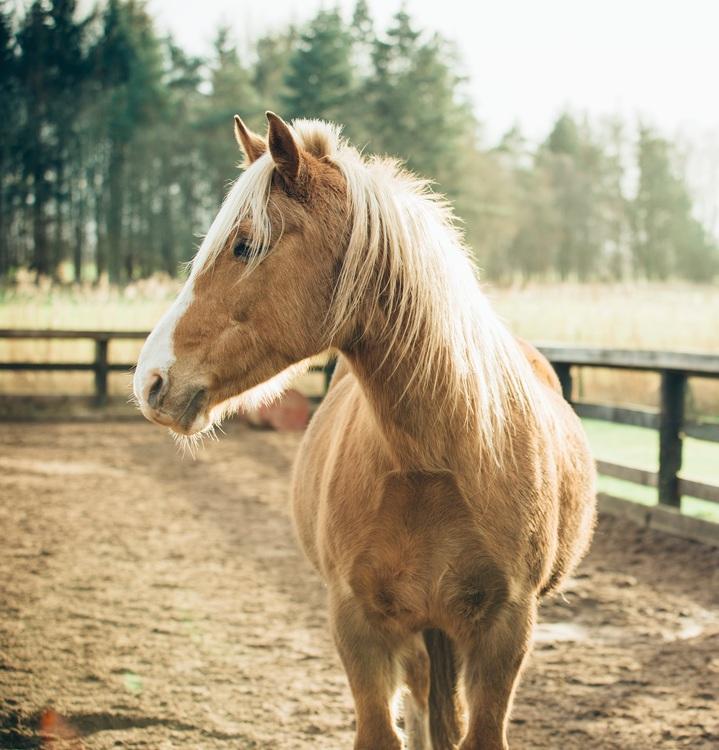 Mare,Horse,Sorrel