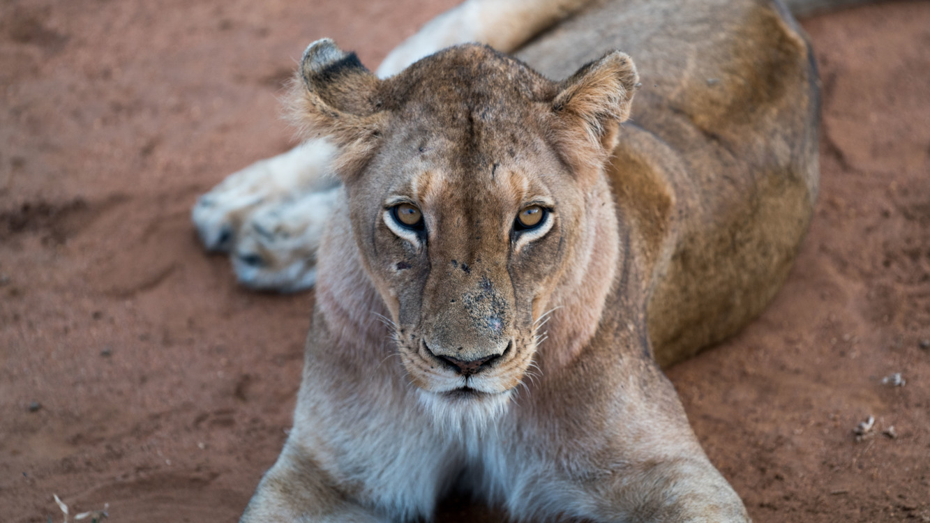 Masai Lion,Wildlife,Fur
