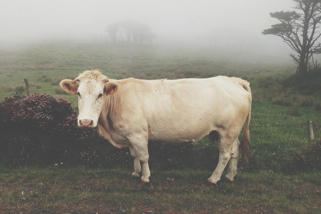 Grass,Livestock,Horn