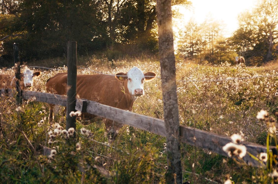 Wildlife,Grass,Livestock