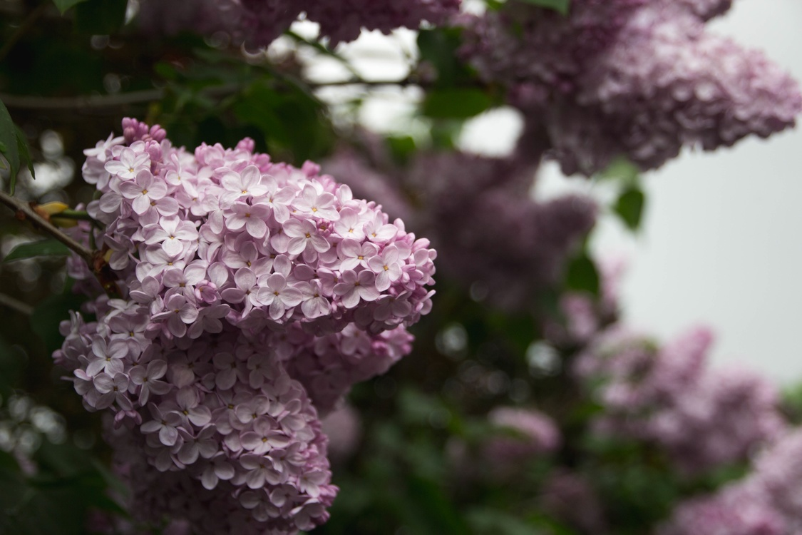 Plant,Flower,Shrub