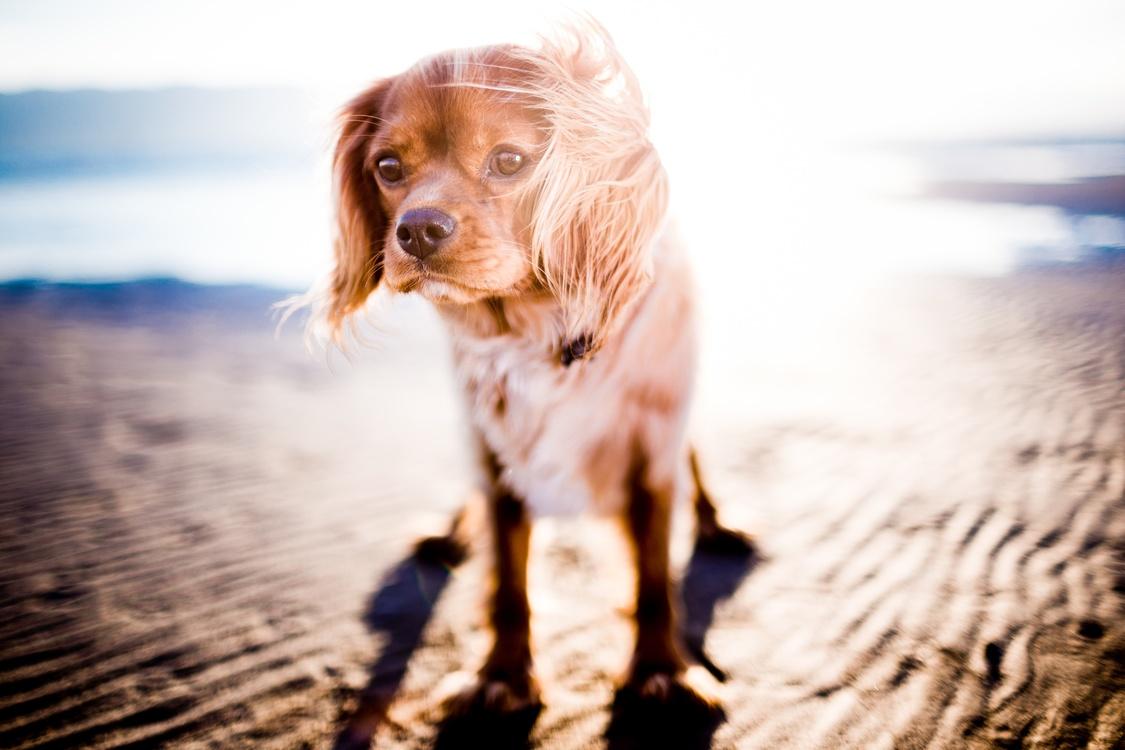 Companion Dog,English Cocker Spaniel,Dog