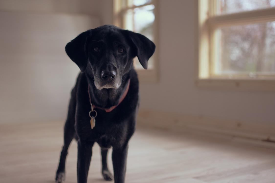 Borador,Labrador Retriever,Dog