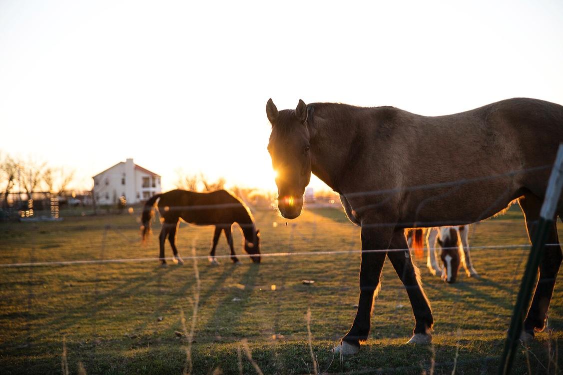 Mare,Horse,Livestock