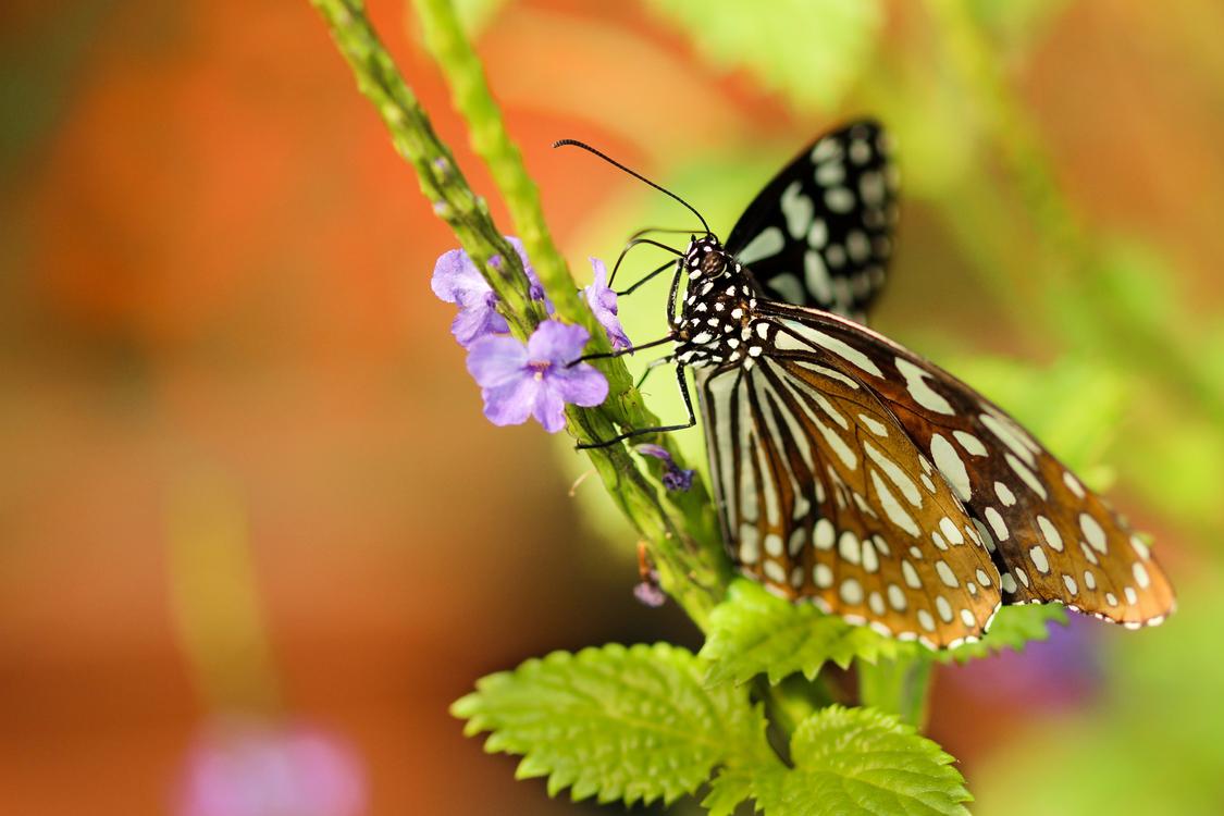 Butterfly,Wildlife,Nectar