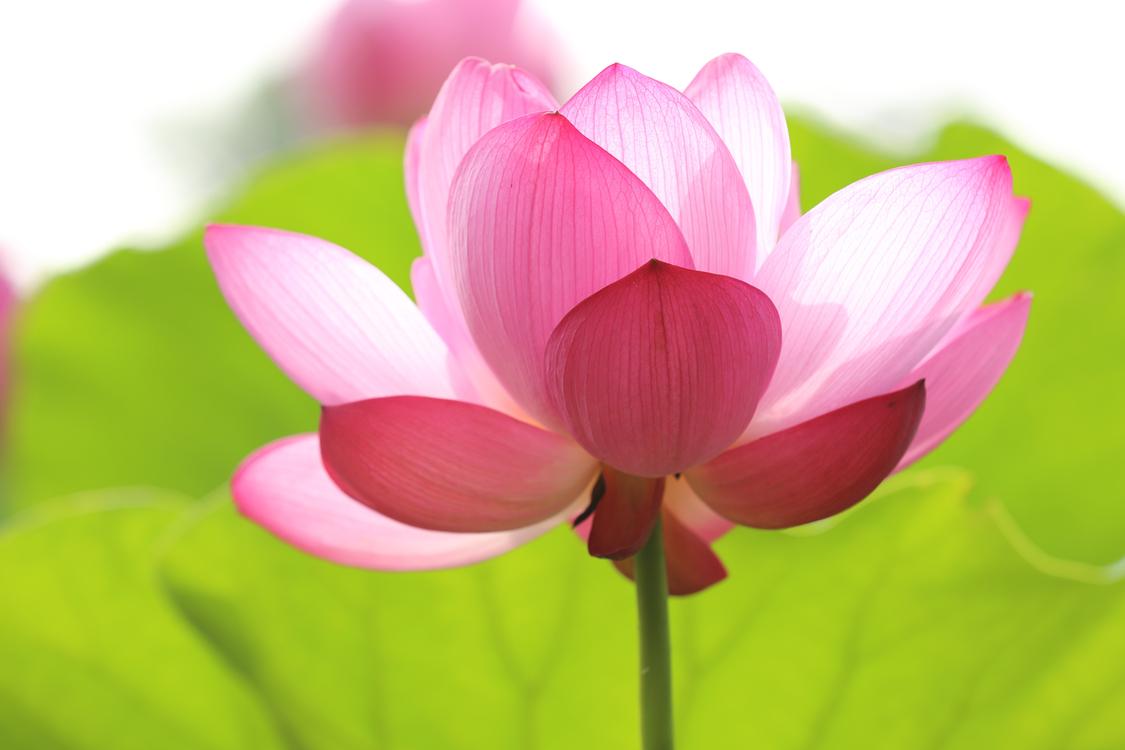 Nelumbo nucifera Word Association Reflection Journal Petal Flower Plant