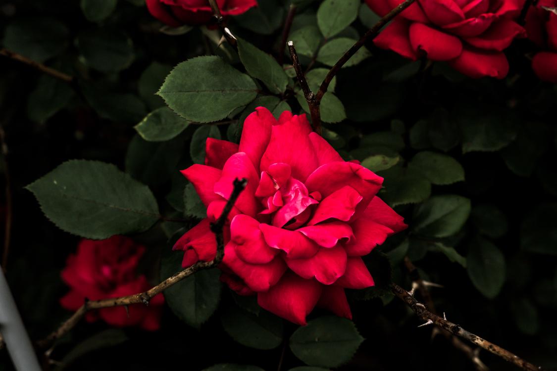 Garden Roses,Spring,Floribunda