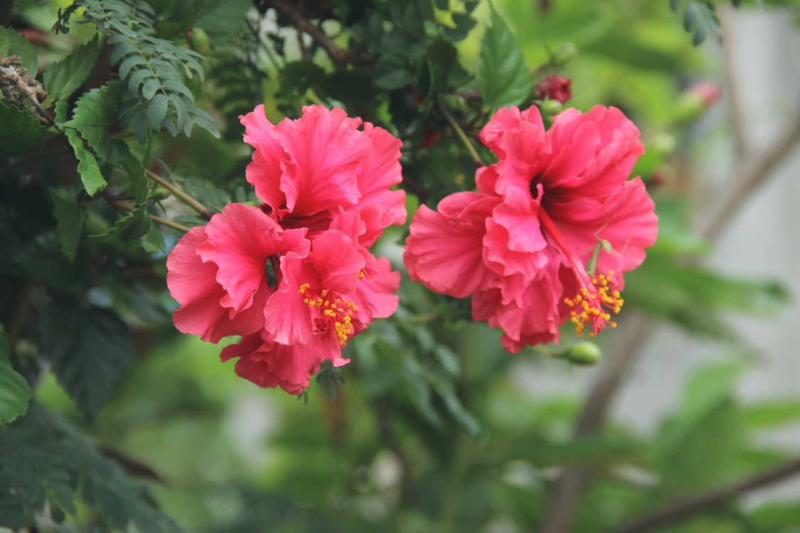 Edible Flower Hibiscus Tea Plant Cc0 Hibiscusfour O Clock Family