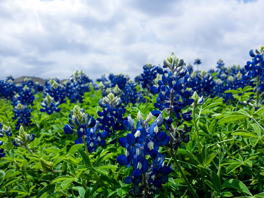 Plant,Flower,Lupin