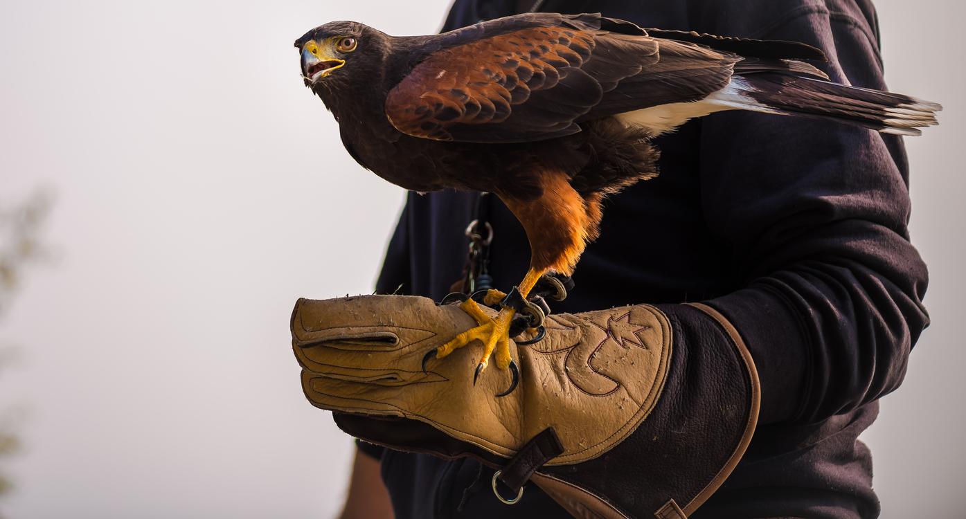 Bird Of Prey,Eagle,Bird