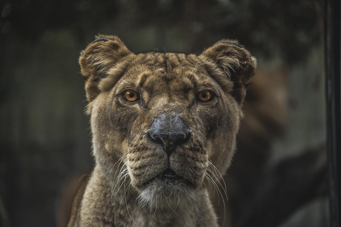 Masai Lion,Wildlife,Big Cats
