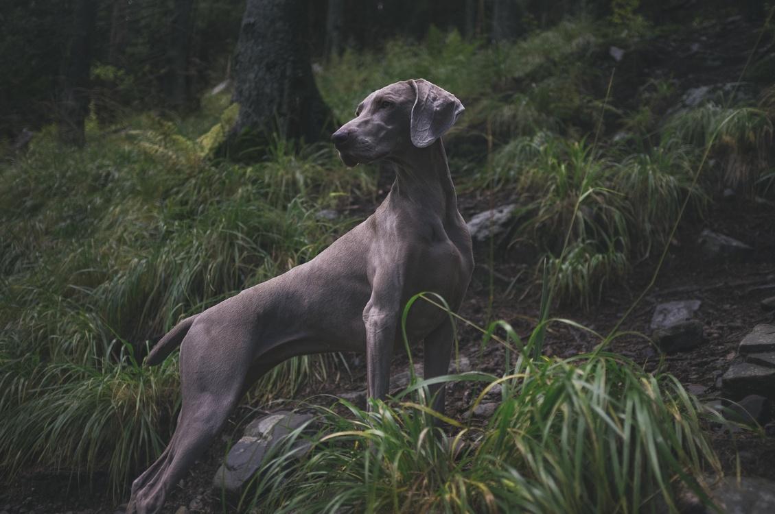 Azawakh,Longdog,Carnivoran