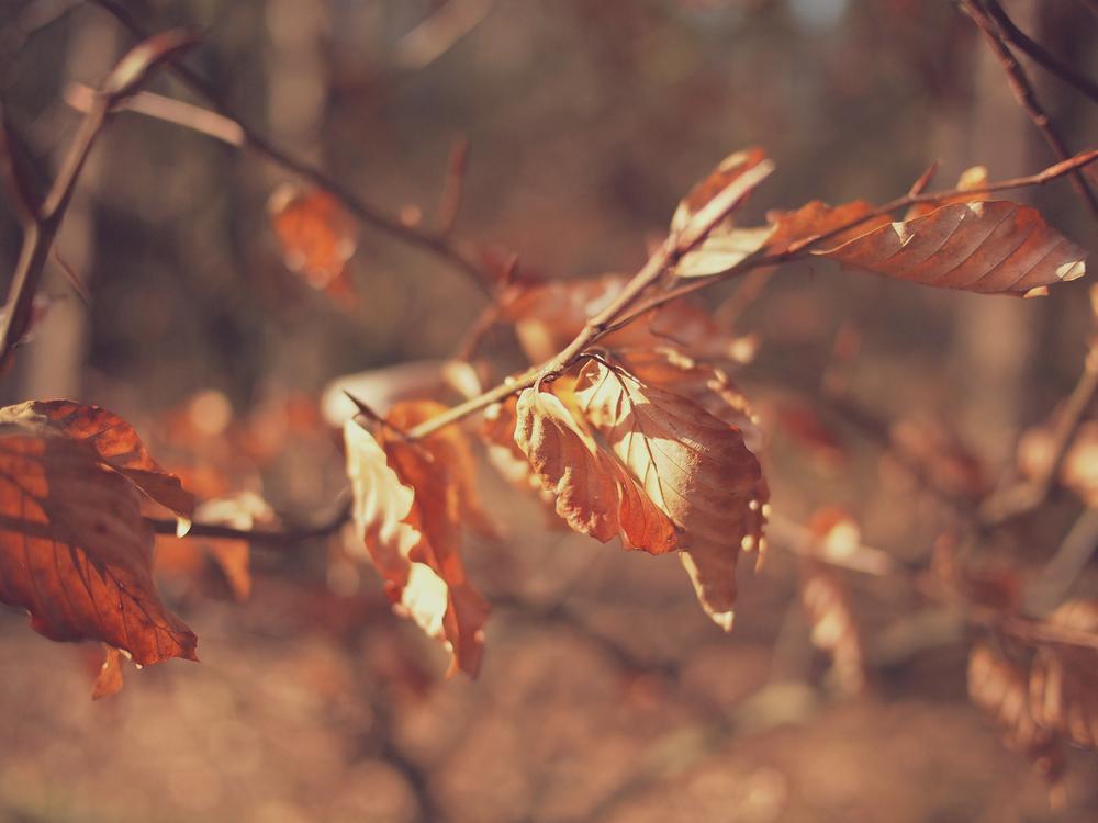 Twig Autumn Maple leaf Desktop Wallpaper