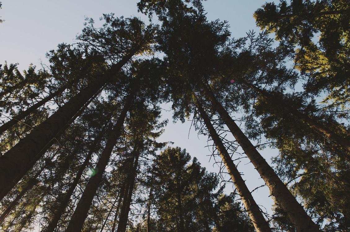 Biome,Plant,Pine Family